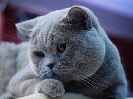 บริติช ช็อตแฮร์ (British Shorthair) แมวหน้ากลมสุดน่ารัก