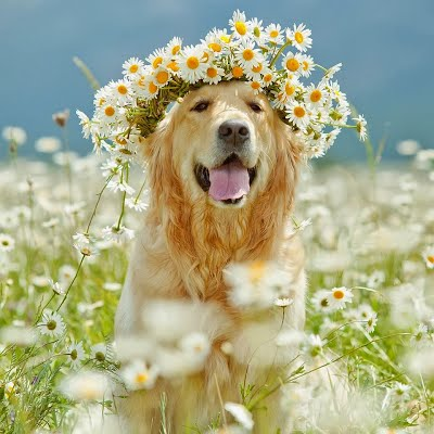 โกลเด้น  รีทรีฟเวอร์ สุนัขแสนฉลาด