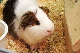 """วิธีเลี้ยงหนูแกสบี้ """"Guinea Pig"""""""