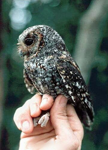 Collared Owlet  นกฮูก