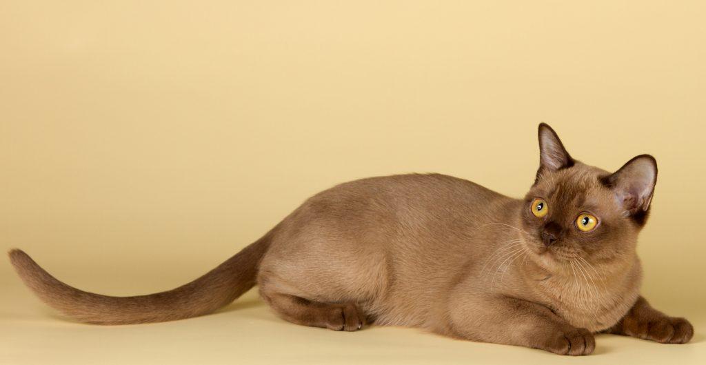 แมวศุภลักษณ์หรือ แมวทองแดง