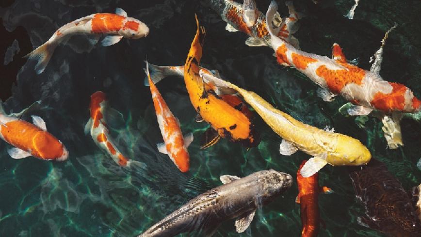 การเลี้ยงปลาคราฟต้องทำอย่างไรบ้าง