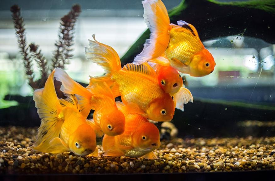 การเลี้ยงปลาทองให้สวย อายุยืน