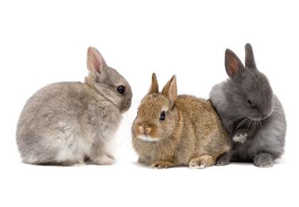 การเลี้ยงกระต่าย เนเธอร์แลนด์ดวอร์ฟ (Netherland Dwarf)
