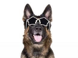 สุนัขพันธ์ เยอรมัน เชฟเฟิร์ด