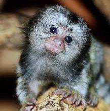 มาทำความรู้จัก ลิงจิ๋วหรือลิงมาโมเซ็ท