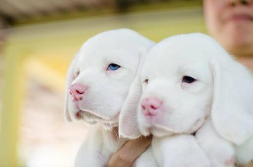 ลูกสุนัขพันธุ์บีเกิ้ลหนึ่งเดียวในประเทศไทย