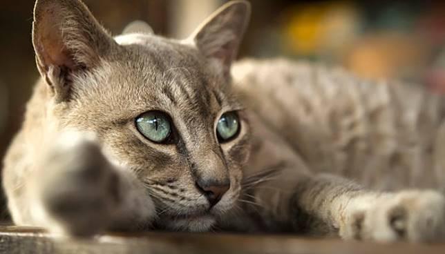 'แมว' มงคล 5 สายพันธุ์